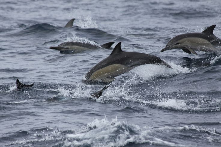 New Zealand - Paihia - Bay of Islands - Dolphins