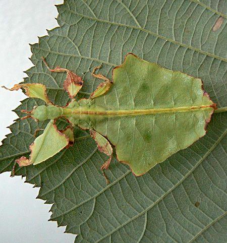 Insecto con el cuerpo en forma de hojas vegetales