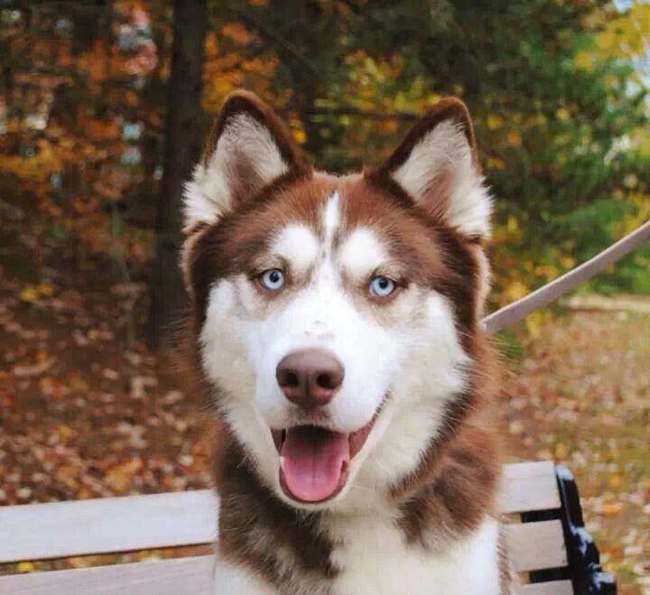 Please help! Searching for my 2yr old Husky, Kimber. My soon-to-be ex-husband sold him on Craigslist -DC area- around 7/10 while I was out of state. I desperately want my boy back. Dark red & white, blue eyes, freckles & a scar on his nose from being bitten by a small dog. His is extremely friendly. I have his CKC registration to verify ownership, but if anyone has any knowledge of where he might be, please contact me immediately! My number is 870-668-6287, my email is…