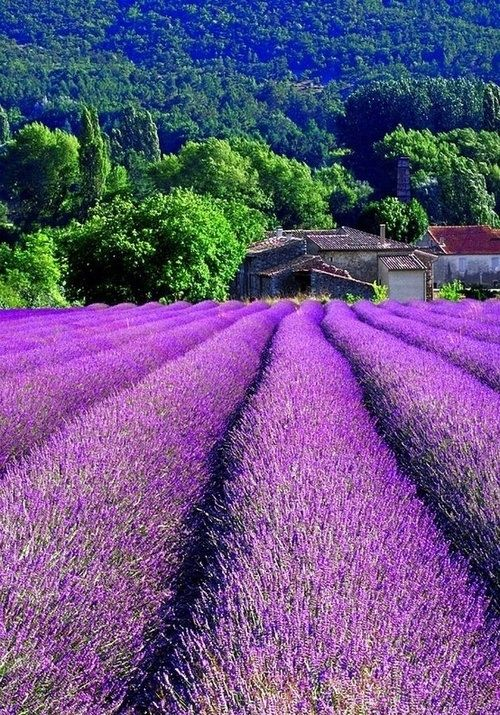 Lavender Field, Provence, France  One of my favorite pictures! I would love to just jump in it!