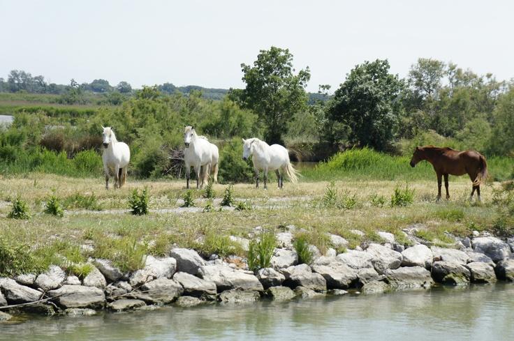 Los caballos salvajes en Camarga