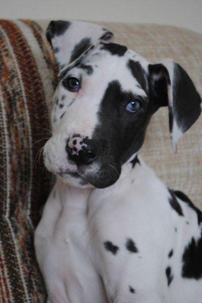 Tierno bebé !!! ... cómo me hace acordar a un perro que amé tanto, mi Gran Danés Olaf !!!