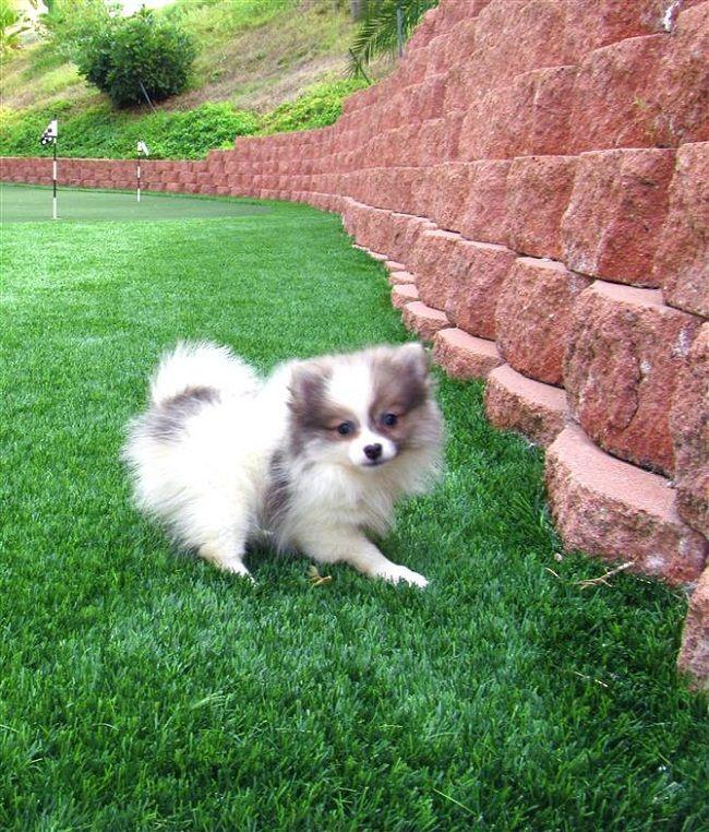 Pomsky Puppies For Sale Prince Edward Island Canada