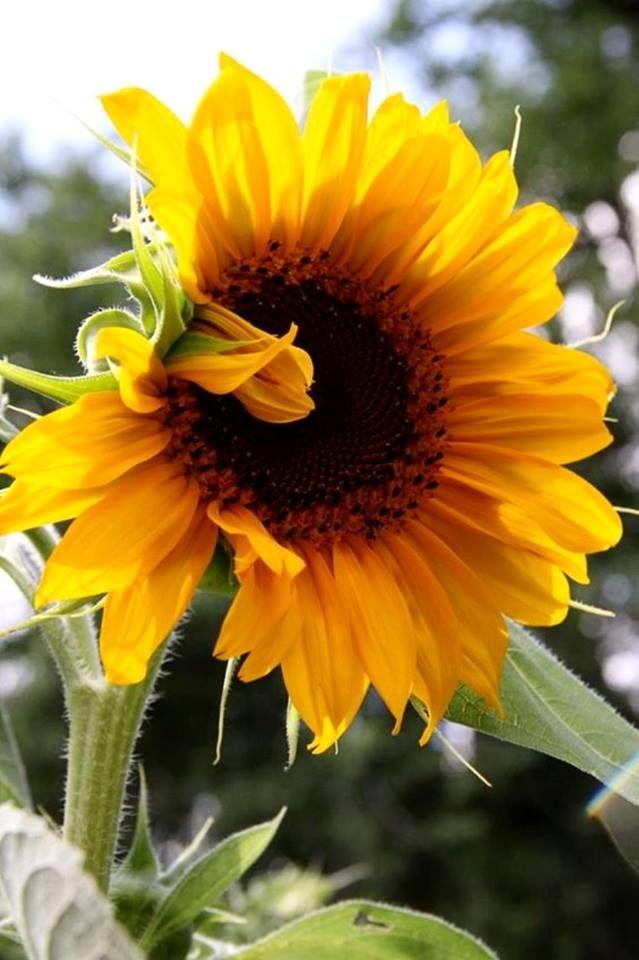 Best 25 Sunflower Pictures Ideas On Pinterest Sunflower