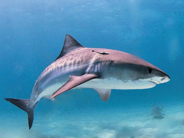sand tiger sharks are not the same as the tiger shark (Galeocerdo cuvier). 10 Fun Facts About Sand Tiger Sharks! - Cool and Interesting Facts for Kids