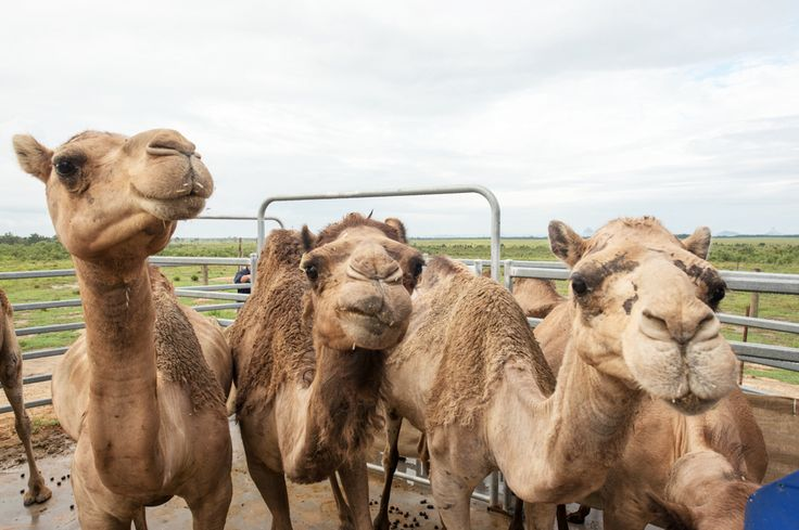 Camel milk? A look at the health benefits and you might be queuing for a camel latte sooner than you think. Photo by Dan Wood.