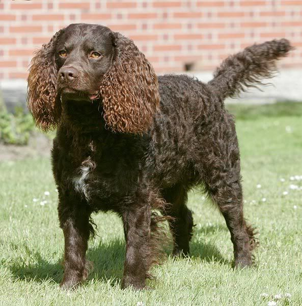 34 best images about AMERICAN WATER SPANIEL on Pinterest ... American Water Spaniel Dogtime