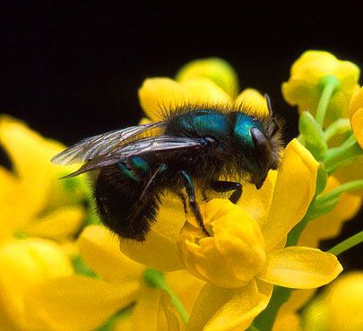 Keeping Mason Bees: 10 Expert Beekeeping Tips for Families