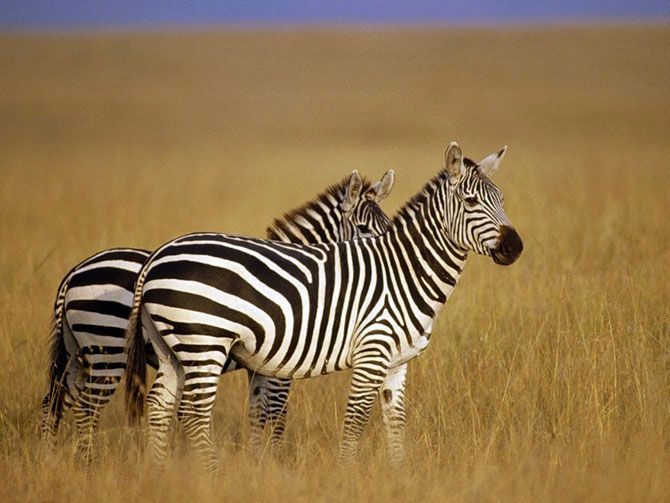 Зебры -дикие лошади Африки
