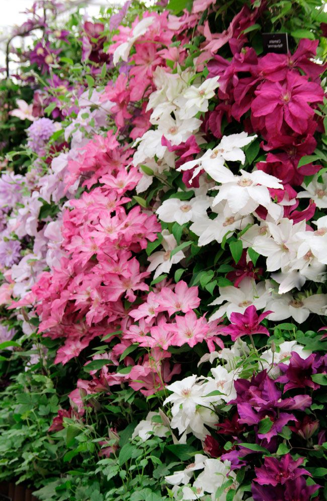 Clematis assorted - burgundy, white, pink, blue, lavender