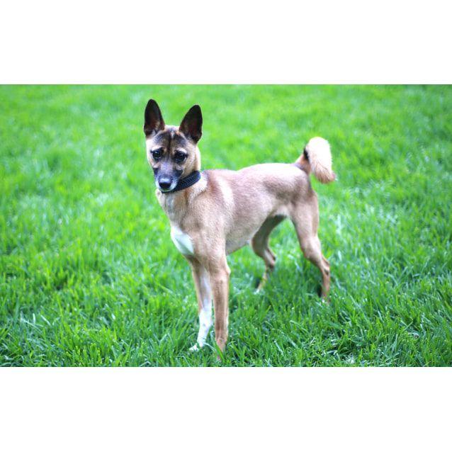 Small Female Italian Greyhound X Shiba Inu Mix Dog Losing A Dog