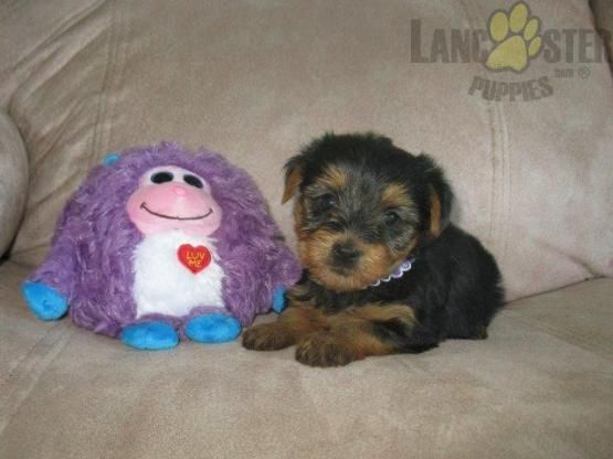 Mandy Yorkshire Terrier Puppy for Sale in Denver, PA