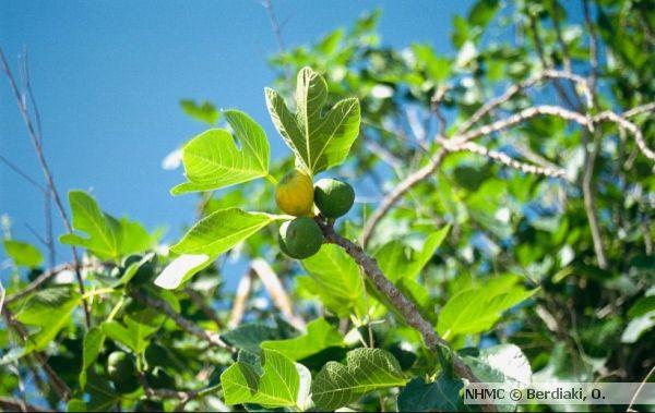 Συκιά, Ficus carica, με καρπούς | Μουσείο Φυσικής Ιστορίας Κρήτης