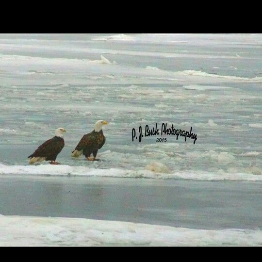 First Eagle pics of 2015 on the Mississippi River