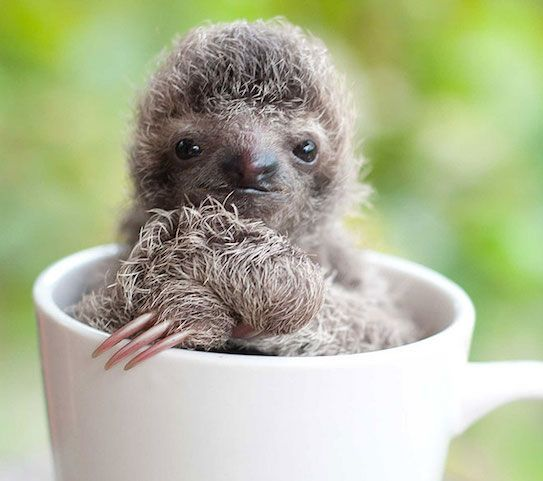 Cutest Baby Sloths Rescued in Costa Rican Sanctuary