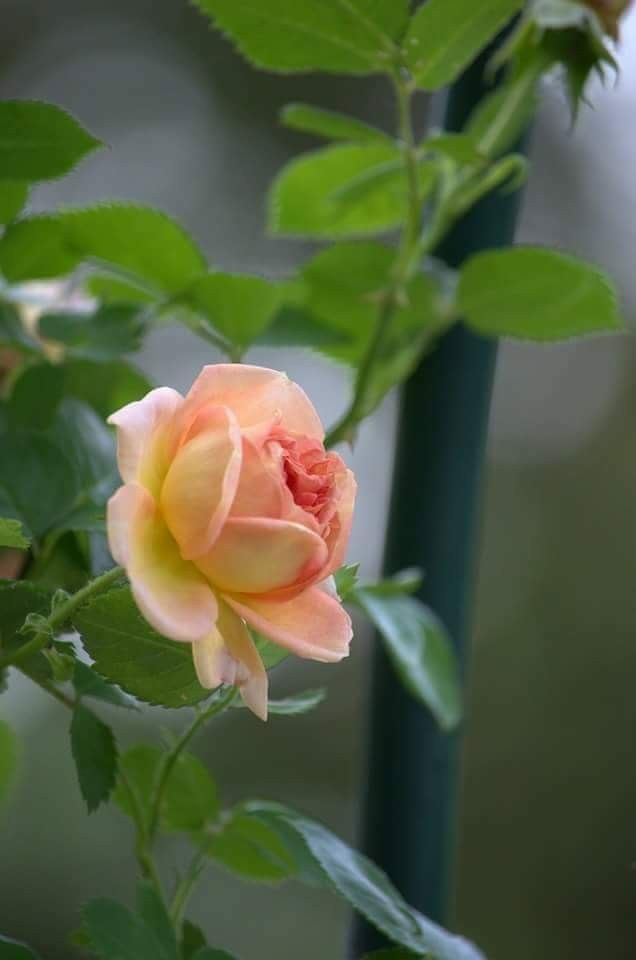 Peach rose...