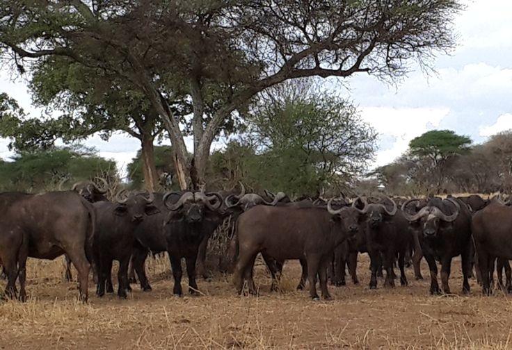 Wilderbeests Adventures  in Serengeti