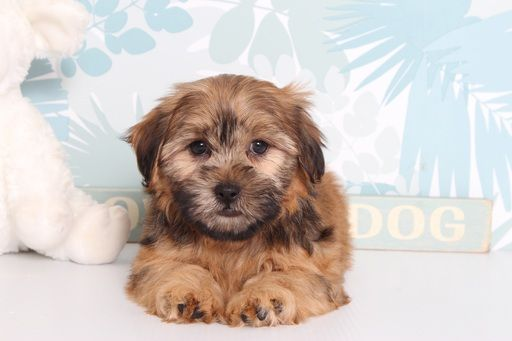 Shorkie Tzu puppy for sale in NAPLES, FL. ADN-66558 on PuppyFinder.com Gender: Male. Age: 10 Weeks Old
