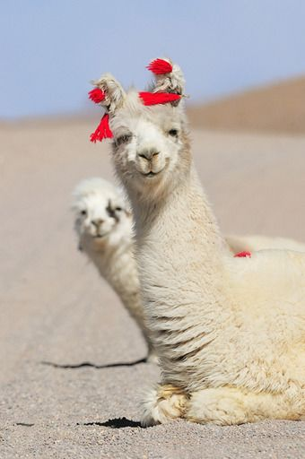 Llamas - always smiling, often domesticated, sometimes decorated.  Northern Argentina, June 2011