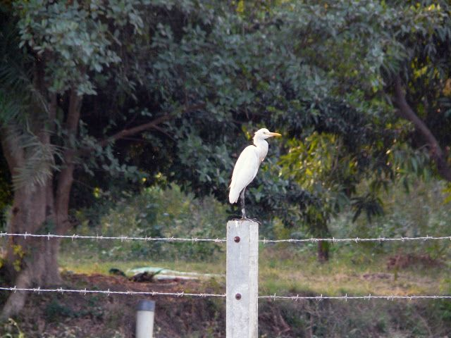 Heron on fence - Tavdi, Gujarat, India. © 2016 a kiwindian couple.