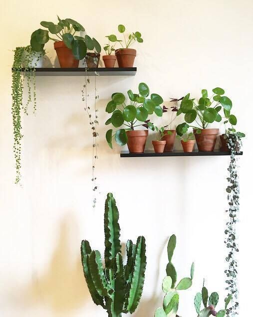the 25 best chinese money plant ideas on pinterest money plant chinese plants and plants indoor. Black Bedroom Furniture Sets. Home Design Ideas