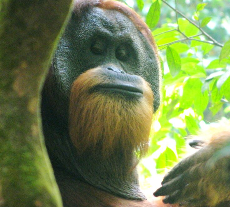 Large mature male orangutan - Gunung Leuser National Park