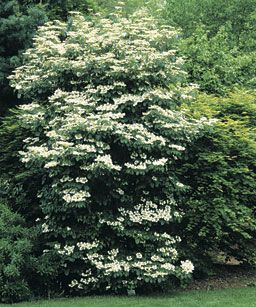 A Viburnum for every garden situation- including my dry shade - this page lists them all! Via Fine Gardening.
