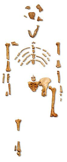 """Reconstruction of the 3.2 Million year-old fossil skeleton of """"Lucy"""" the Australopithecus afarensis discovered in Ethiopia"""