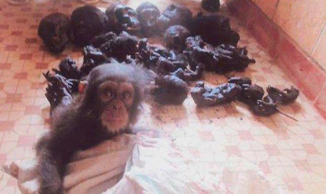 Mi pequeño rincón: Rescatan a un bebé chimpancé rodeado de restos mutilados de su familia durante una redada contra traficantes de animales en Camerún