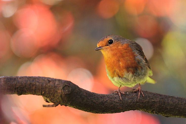 oiseau robin images photos gratuites
