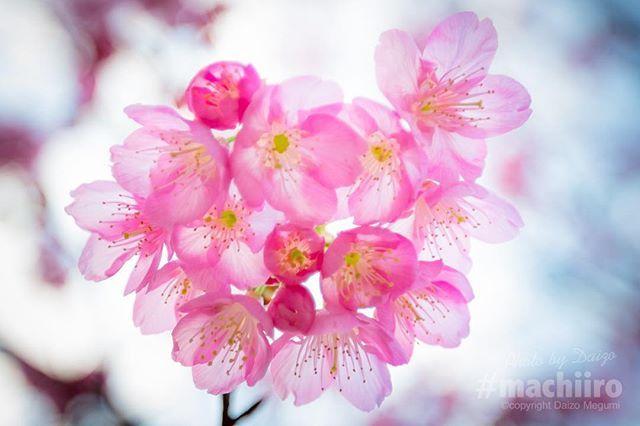 サクラが見頃を迎えています . #サクラ #桜 #さくら #sakura #サクラサク #マチイロ #machiiro #ヒカンザクラ #緋寒桜 #奄美大島 #amami #canon #5d
