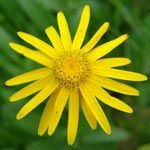 Arnica Montana Side Effects - Topical vs Oral Use! - http://www.healtharticles101.com/arnica-montana-side-effects-topical-vs-oral-use/#more-15840