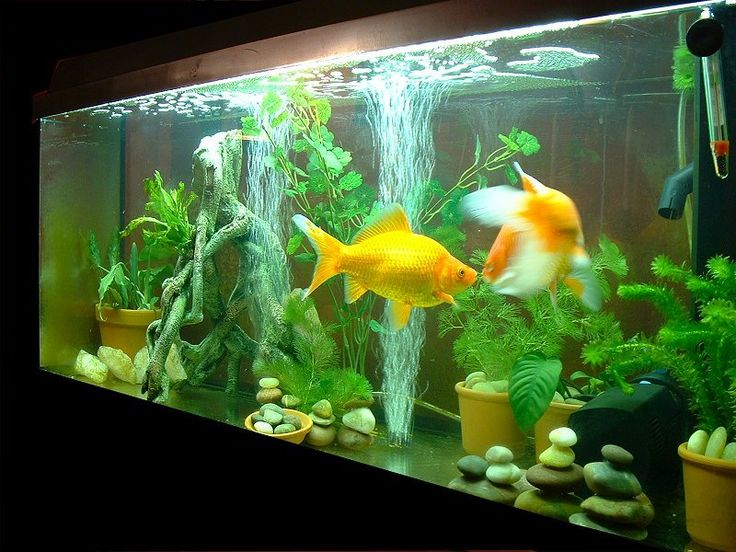 14 best fish tank images on pinterest fish aquariums for What kind of fish can live with a betta