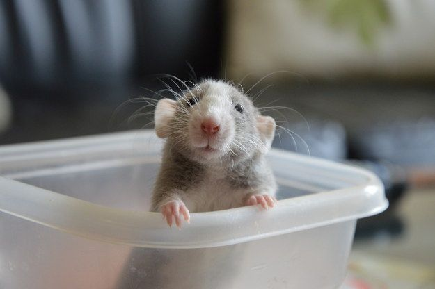 Ru, the adorable baby Dumbo rat who met her new rat family this year. | 31 Of 2014's Unsung Heroes Of Cute