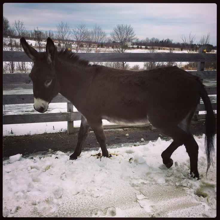 Amy Elizabeth ~ Only Donkeys  near Fayetteville, NY ·1-31-16    Nacho is enjoying the warm weather in NY!