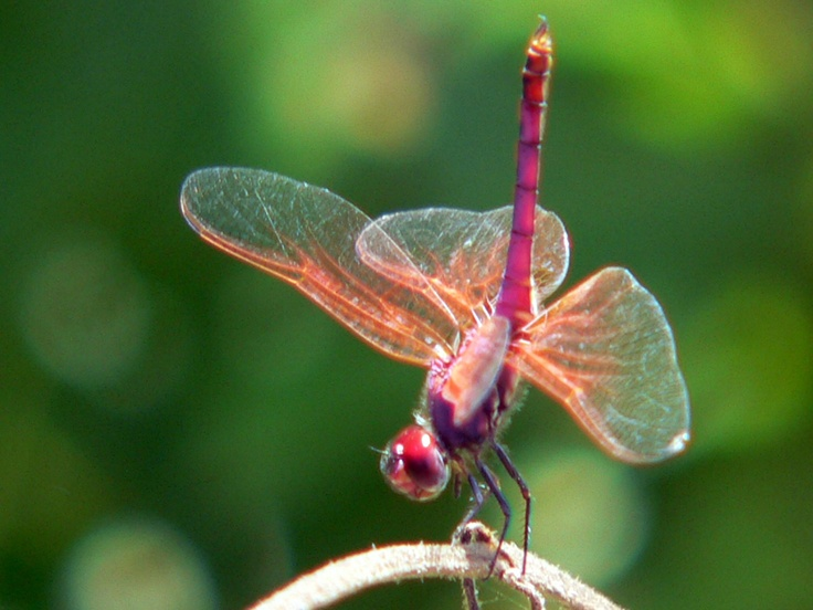 Symbolism of the dragonfly ~        prosperity      good luck      strength      peace      harmony      purity