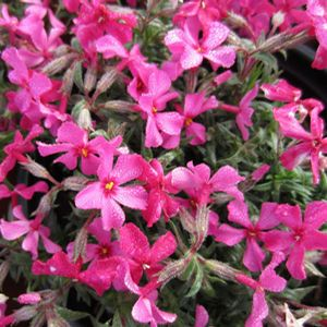 Scarlet Flame Creeping Phlox Phlox subulata Scarlet Flame from Berry Nurseries