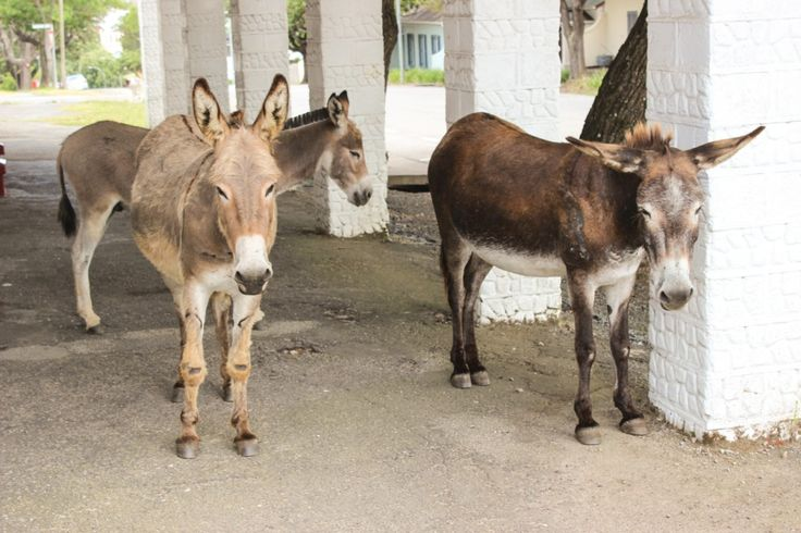 Three donkeys pause next to the funeral home on Hill Street.