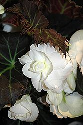 Click to view full-size photo of Nonstop Mocca White Begonia (Begonia 'Nonstop Mocca White') at Carleton Place Nursery