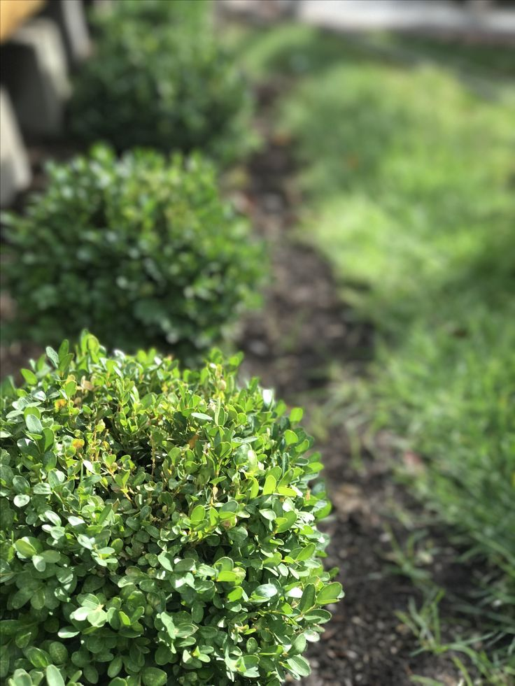 Interesting. Buxus microphylla var japonica morris midget think, that