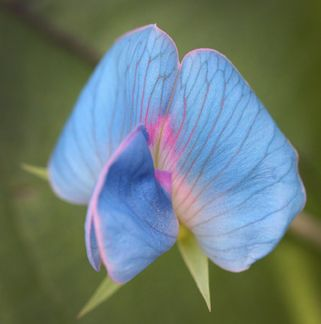 Lathyrus sativus var. azureus Why is this beautiful pea so rare in the trade? Just the prettiest shade of sky blue (not lavender!) flowers are borne numerously on a bushy-type vine reaching 2-3' tall. Native to India, it grows easily in heat as well as along the coast. Picks up where your Sweet peas left off.: Beautiful Peas, Prettiest Shades, Blue Flowers, Sky Blue, Pin Today, Lavender Flowers, Indian Peas, Random Pin, Sweet Peas