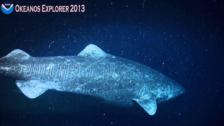 Okeanos Explorer Video Bite: Northeast U.S. Canyons 2013 -Greenland Shark