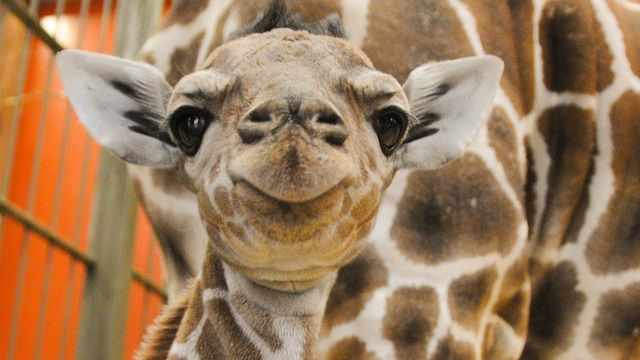 """While the nation remained captivated, waiting for a pregnant giraffe in New York to give birth on a live stream, a giraffe in Denver quietly gave birth to an adorable baby boy named """"Dobby."""""""