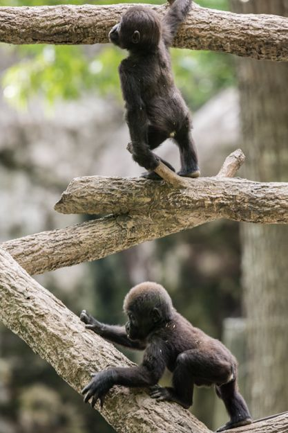 Baby gorillas climb when they are not even a year old, and they get up pretty high!