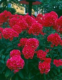 Syysleimu  Phlox paniculata  KORKEUS: 40-150 cm lajikkeen mukaan KUKINTA-AIKA: heinä-syyskuu lajikkeen mukaan KASVUPAIKKA: aurinkoinen, puolivarjoinen TALVENKESTÄVYYS: kestävä KUKAN VÄRI: punaisen ja violetin eri sävyt, vaaleanpunainen, valkoinen KASVUALUSTA: voimakas, multava, tuore ISTUTUSVÄLI: n. 40 cm  Syysleimut istutetaan voimakkaaseen, multavaan ja tuoreeseen maahan aurinkoiselle tai lievästi puolivarjoisalle paikalle, missä kukinta kestää pitempään. Tarpeen mukaan kasteltava ja…