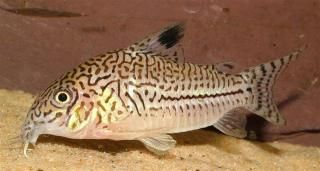 Corydoras trilineatus - distinguished from julii by its reticulated ...