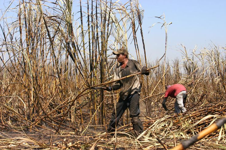 A new study finds that strenuous labor in the sugar cane fields of Central America is contributing to a mysterious form of kidney failure. Above: Workers harvest sugar cane in Chichigalpa, Nicaragua.