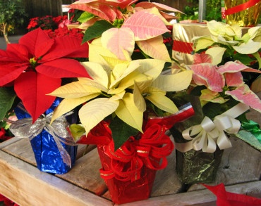 Cute little mini poinsettias in different colors with bows and foil-wrapped.