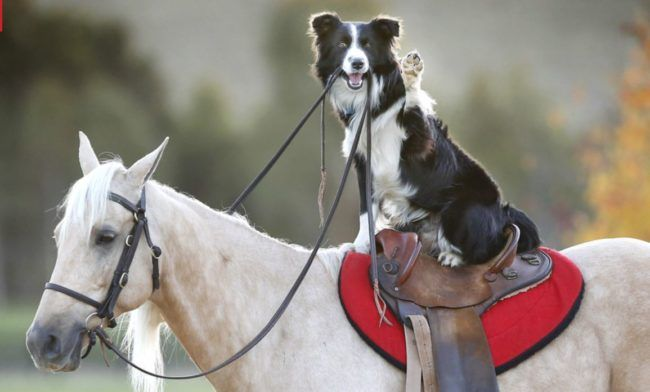 Ever see a border collie ride a horse? Hekan can! See this amazing dog do some cool tricks in this great video!