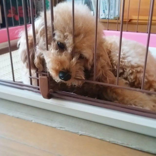 今日はモコちゃん 早起きさん☺ 待ちくたびれて、こんな顔😅  #愛犬 #わんこ #トイプードル #犬バカ部 #トイプードル部 #モコちゃん #早起き #待ちくたびれ #こんな顔 #dogstagram #dog #instadog #mydog #toypoodle #早く出して